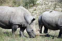 White Rhino. In the Krueger National Park Royalty Free Stock Images