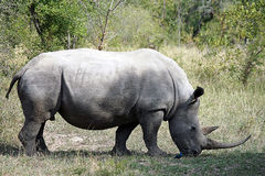 White Rhino in the Krueger National Park. An white Rhino in the Krueger National Park Stock Image