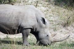 White Rhino. In the Krueger National Park Stock Photography