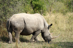 White Rhino. In the Krueger National Park Royalty Free Stock Image