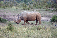 White Rhino in the Kruger National Park. An white Rhino in the Kruger National Park Stock Image