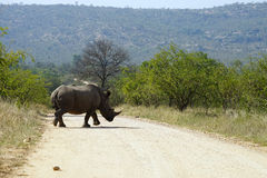 White Rhino in the Kruger National Park Stock Image