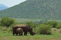 White Rhino in Kruger National Park. Biggest game reserve in South Africa stock image
