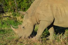 White Rhino in Kruger National Park. Biggest game reserve in South Africa stock photos
