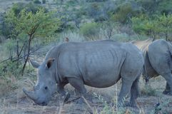 White Rhino in Kruger National Park. Biggest game reserve in South Africa royalty free stock images