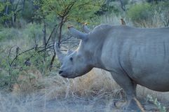 White Rhino in Kruger National Park royalty free stock image