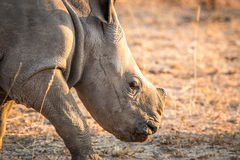 White Rhino in the Kruger National Park, South Africa. Stock Photo