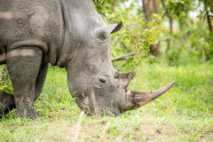 White rhino in the Kruger National Park, South Africa. Royalty Free Stock Images