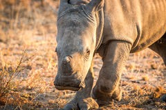 White Rhino in the Kruger National Park, South Africa. Royalty Free Stock Photos