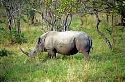 White rhino, Kruger National Park, South African Republic. White rhino in Kruger National Park, South African Republic stock photo