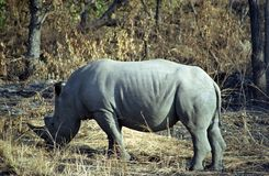 White rhino, Kruger National Park, South African Republic. White rhino in Kruger National Park, South African Republic royalty free stock photography