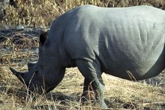 White rhino, Kruger National Park, South African Republic. White rhino in Kruger National Park, South African Republic stock image