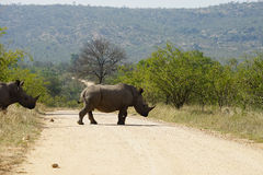 White Rhino in the Kruger National Park. Two white Rhino in the Kruger National Park Stock Photo