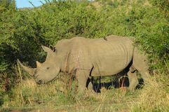 White Rhino in Kruger National Park. Biggest game reserve in South Africa royalty free stock image