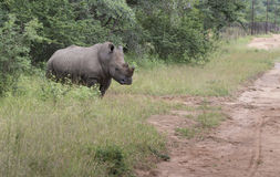 White rhino at the kruger park Stock Photo