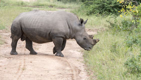 White rhino at the kruger park Royalty Free Stock Photos