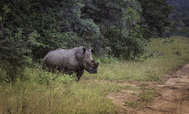 White rhino at the kruger park Royalty Free Stock Photo