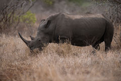 White Rhino. In Kruger park, South Africa Stock Photo
