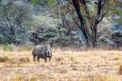 White Rhino in Lake Nakuru - Kenya royalty free stock photo