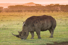 White Rhino in Lake Nakuru national park. Kenya royalty free stock image