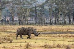 White Rhino Large Horn in Kenya Africa royalty free stock photos