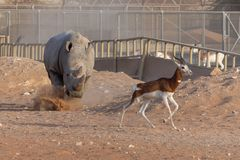 White Rhino making a claim for its turf chasing off a springbok stock images
