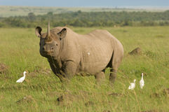 White rhino in Masai mara Kenya. A rare endangered white rhino in Kenya's Masai Mara Royalty Free Stock Images