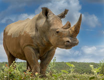White Rhino. The massive white rhino. A great angle shot royalty free stock photo