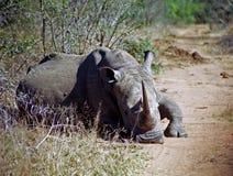 White rhino, Mkhaya Game Reserve, Swaziland Stock Photo