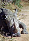 White rhino, Mkhaya Game Reserve, Swaziland Stock Image