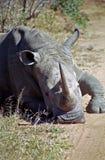 White rhino, Mkhaya Game Reserve, Swaziland Royalty Free Stock Image