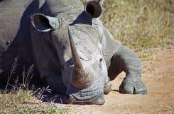 White rhino, Mkhaya Game Reserve, Swaziland. White rhino in Mkhaya Game Reserve, Swaziland royalty free stock image