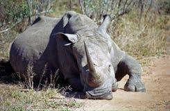 White rhino, Mkhaya Game Reserve, Swaziland. White rhino in Mkhaya Game Reserve, Swaziland royalty free stock photography