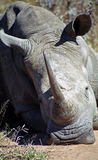White rhino, Mkhaya Game Reserve, Swaziland. White rhino in Mkhaya Game Reserve, Swaziland stock image