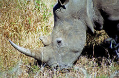 White rhino, Mkhaya Game Reserve, Swaziland. White rhino in Mkhaya Game Reserve, Swaziland royalty free stock photo