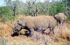 White rhino, Mkhaya Game Reserve, Swaziland. White rhino in Mkhaya Game Reserve, Swaziland stock photo