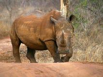 Southern african animals. White rhino at Mkhaya, Swaziland Royalty Free Stock Photography