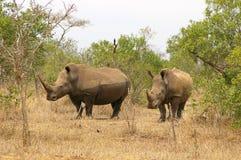 Southern african animals. White rhino at Mkhaya, Swaziland Royalty Free Stock Photos
