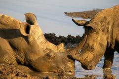 Southern african animals. White rhino at Mkhaya, Swaziland Stock Images