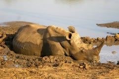 Southern african animals. White rhino at Mkhaya, Swaziland Stock Photo