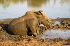 Southern african animals. White rhino at Mkhaya, Swaziland Royalty Free Stock Image