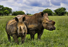 White Rhino Mom and calf Royalty Free Stock Photos