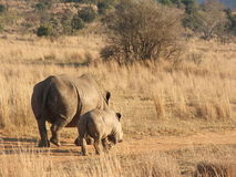 White rhino mother and baby. Walking away in entabeni south africa royalty free stock image
