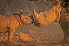 White rhino mother and calf. Showing reflection Royalty Free Stock Image