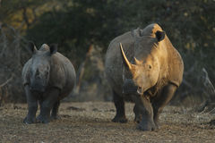 White Rhino mother and calf Stock Photography