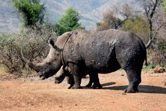 White Rhino mother and calf Stock Photos
