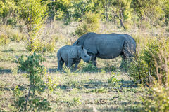 White rhino mother with calf. White rhino mother with a calf in the Kruger National Park, South Africa royalty free stock photography