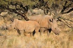 White rhino mother and calf Stock Photos