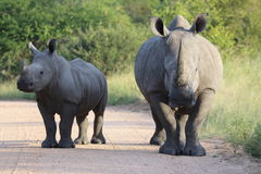 White rhino mother with calf. A white rhinoceros mother with her calf on a road stock images
