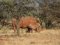 White Rhino Mother And Calf. A White Rhinoceros mother and calf in Southern African savanna royalty free stock image